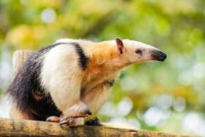 challenge your ANTs anteater